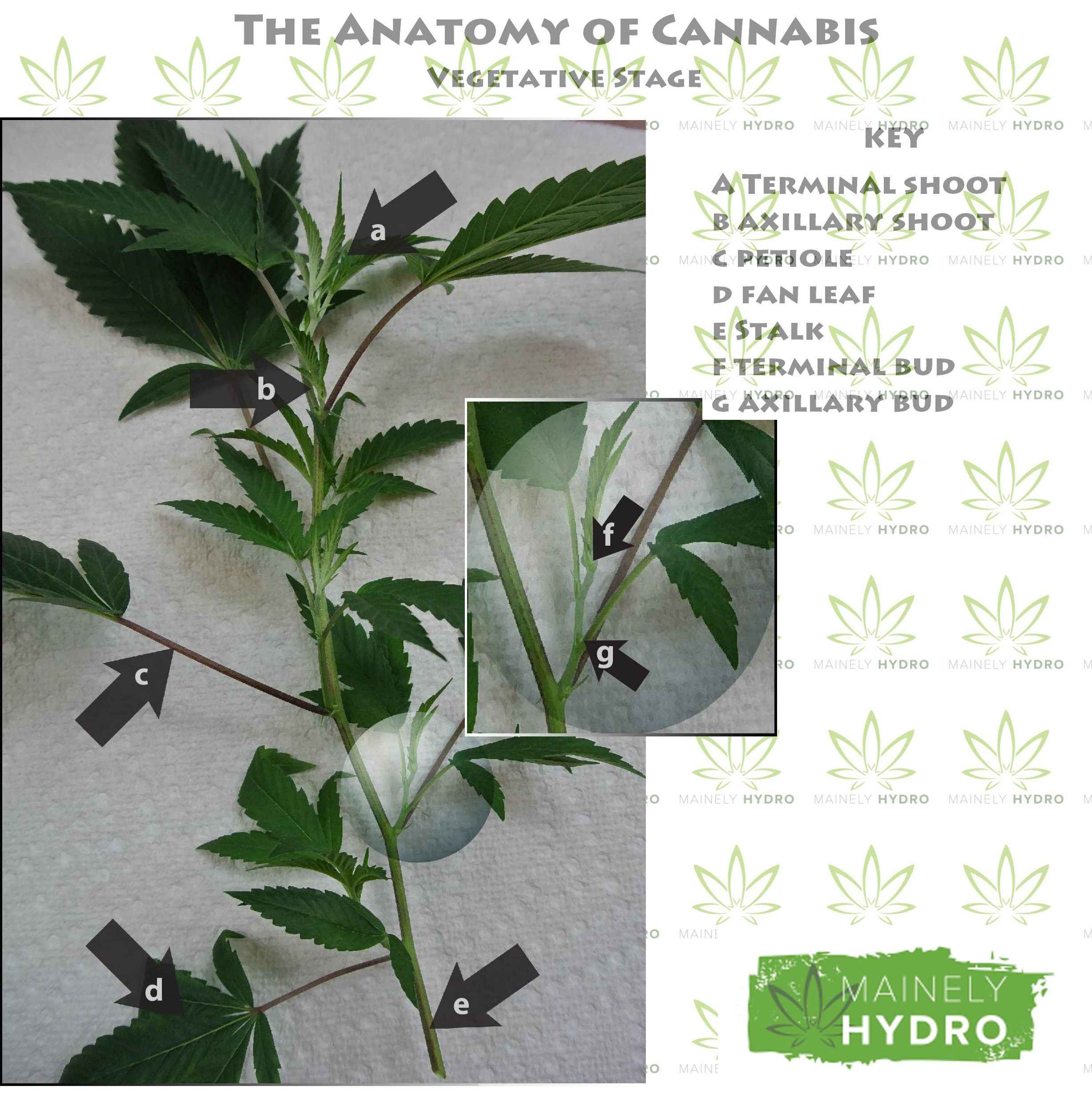 The Anatomy of Cannabis Ve ative Stage – Mainely Hydro